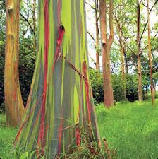 Rainbow Eucalyptus Nature U0027s Art Rainbow Eucalyptus Tree And Eucalyptus Tree