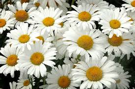 white flower white flowers flowers wallpapers