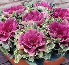 cheap cabbage seeds for sale find cabbage seeds for sale deals on