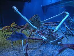 file aquarium japanese spider crab jpg wikimedia commons
