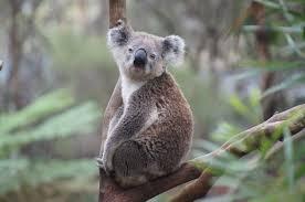 imagenes animales australia koala australia bear free photo on pixabay