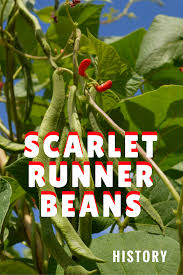 history of scarlet runner beans gardening know how u0027s blog