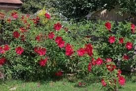 hibiscus plant care and collection of varieties garden org