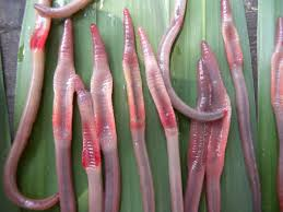 astonishing 10 new species of semi aquatic freshwater earthworms