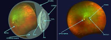 Picture Of Eye Anatomy Eye Anatomy Optomap