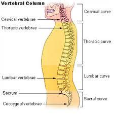 Anatomy Of The Human Body Bones Seer Training Axial Skeleton 80 Bones