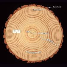 cross section of a pine log radiata pine te ara encyclopedia