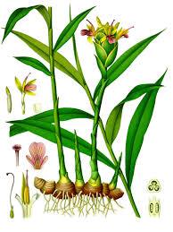 native american medicinal plants ginger 1896 color plate from köhler u0027s medicinal plants herbs