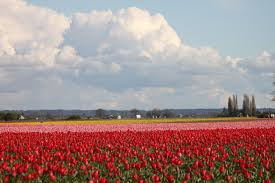 where i work la conner wa tulip fields every word counts