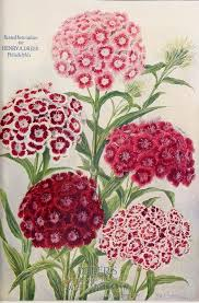 sweet william flowers sweet williams watercolour painting watercolor