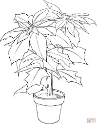 poinsettia or christmas flower coloring page free printable