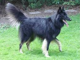 belgian shepherd short hair interesting belgian groenendael puppy color genetics