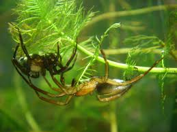 diving bell spider wikipedia