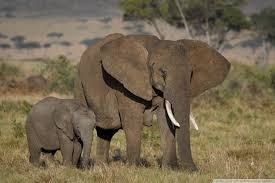 apple wallpaper elephant african elephants mother and cute baby 4k hd desktop wallpaper