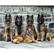 belgian shepherd quebec élevage berger belge hidalgo breeders belgian shepherd