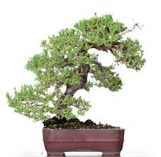 prucumbens nana juniper bonsai california bonsai studio