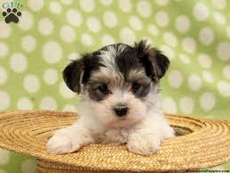 bichon frise in ohio morkies for sale in ohio morkie yorktese puppies for sale in