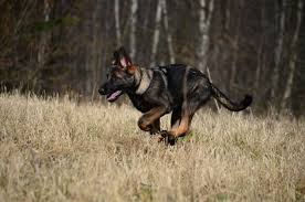 Light Sable German Shepherd Thought You Guys Might Appreciate This Germanshepherds