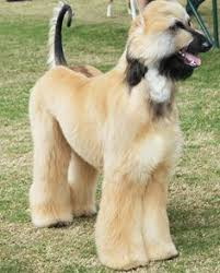 afghan hound teeth afghan hound puppy my favourite dog in the universe poodles