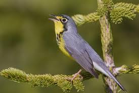 Canada Map Song by Canada Warbler Audubon Field Guide