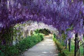 Images Of Wisteria Flower Tunnel Hd Sc