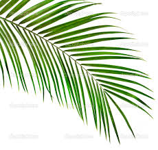 palm tree leaves green leaf of palm tree on white background
