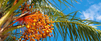 palmier du chili palmiers u2013 sun plantes viveros s l