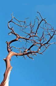 manzanita branches for sale branches bark 16 18in