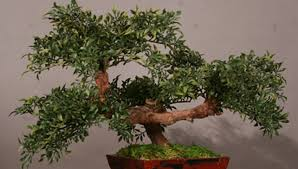 mini asian aralias podocarpus and cypress trees plantworks