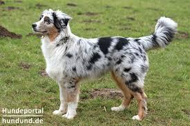 australian shepherd zucht deutschland australian shepherd dog aussie züchter hundezüchter verzeichnis