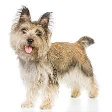 brindle cairn haircut cairn terrier cairn terrier newsletter cairn terrier
