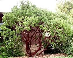 manzanita trees landscaping with manzanita exterior space