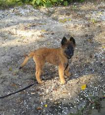 belgian shepherd kennels belgian shepherd puppies in us u0026 canada public group facebook
