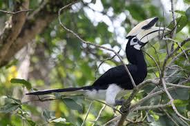 oriental pied hornbill anthracoceros albirostris hotspot birding