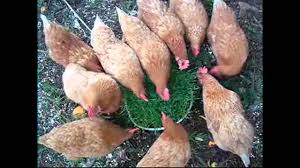What To Feed Backyard Chickens by How To Raise Backyard Chickens U2013 Do Chickens Eat Grass U2013 Will