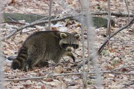 how to deal with problem raccoon in massachusetts wildlifehelp org