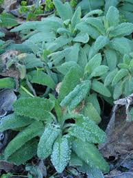 ca native plants january 2013 u2013 quercus landscape design