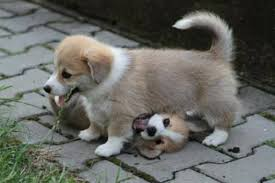 corgi tail docking corgi dogs