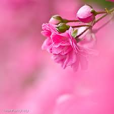 beautiful pictures images beautiful pink photo wallpaper and