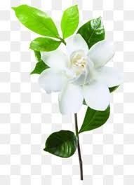 Jasmine Flowers Jasmin Flower Png Vectors Psd And Icons For Free Download Pngtree