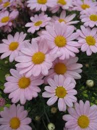 marguerite daisies for impact rotary botanical gardens