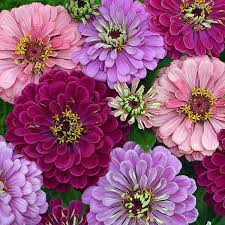 25 beautiful zinnia flower pictures ideas on pinterest dahlia