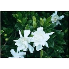 Gardenia Delivery Shop Monrovia 3 58 Gallon White Frostproof Gardenia Flowering