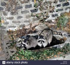 raccoons procyon lotor in a san francisco california backyard pond