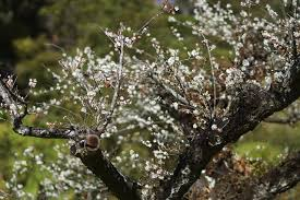 flowering plum tree facts hunker