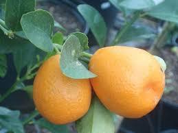 23 best the amazing genus citrus images on fruit trees