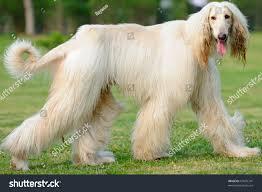 afghan hound kennel in australia afghan hound dog walking on lawn stock photo 67639741 shutterstock
