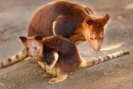 tree kangaroos u0027on brink of extinction u0027 due to palm oil