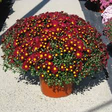 mums raleigh fall plants nc fairview garden center