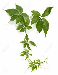 climbing plant stock photos royalty free climbing plant images